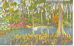 Click here to enlarge image and see more about item p14901: Cypress Gardens  FL  Cypress Trees Postcard p14901