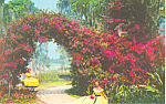 Click here to enlarge image and see more about item p14909: Cypress Gardens  FL Bougainvillea Postcard p14909
