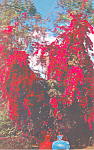 Click here to enlarge image and see more about item p14916: Cypress Gardens  FL  Bougainvillea Postcard p14916