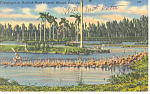 Click here to enlarge image and see more about item p14930: Flamingos at Hialeah Race Track FL Postcard p14930 1957