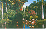 Click here to enlarge image and see more about item p14943: Flamingos Sarasota Jungle Gardens FL Postcard p14943