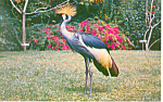 Crane,Sarasota Jungle Gardens, FL Postcard
