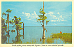 Cypress Trees Lake Harris FL Postcard p14955