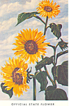 Click here to enlarge image and see more about item p15075: Kansas State Flower Wild Sunflower  Postcard p15075