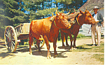 Click here to enlarge image and see more about item p15185: Devon Steers,Sturbridge MA Postcard p15185