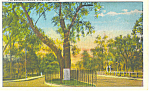 Click here to enlarge image and see more about item p15212: The Washington Elm Cambridge MA Postcard p15212