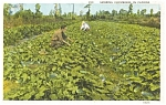 Florida Cucumber Field Postcard p1532
