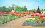 Tulip Time in Holland MI Postcard  p15378 1957