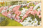 Atlantic City NJ Hydrangeas in Bloom Postcard p1549