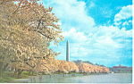 Washington Monument, Cherry Blossoms Postcard 1960