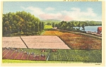 Click here to enlarge image and see more about item p1618: Cape Cod MA Cranberry Plantation Postcard