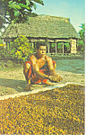 Click here to enlarge image and see more about item p16257: Cacao Beans Drying Western Samoa Postcard