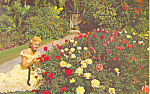 Cypress Gardens,FL, Roses and Belle Postcard