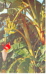 Banana Tree Growing in Florida  Postcard p16449