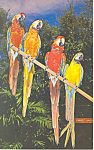 Click here to enlarge image and see more about item p16450: Macaws at Parrot Jungle, Miami, FL Postcard