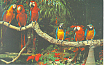 Parrots  at Parrot Jungle, Miami, FL Postcard