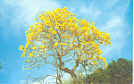 Brazilian Golden Shower Tree FL Postcard p16456