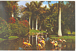Click here to enlarge image and see more about item p16466: Flamingos Jungle Gardens FL Postcard p16466