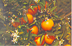 Click here to enlarge image and see more about item p16606: Branch of an Orange Tree in Bloom Postcard p16606