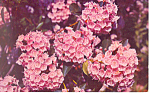 Mountain Laurel, State Flower, PA Postcard 1965