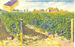 Harvest of Concord Grapes Lake Erie NY Postcard p16932