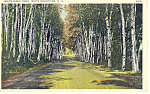White Birch Road, White Mountains, NH  Postcard