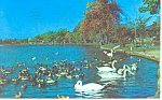 Swans and Ducks Long Island  NY  Postcard p17251