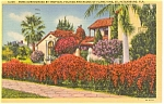 Florida Flame Vine Postcard