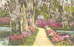 Click here to enlarge image and see more about item p17850: Magnolia Gardens, Charleston, SC Postcard