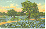 Bluebonnets-State Flower of TX Postcard