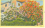 Oleanders in Bloom, Galveston,Texas Postcard