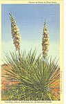 Yuccas in Bloom West Texas Postcard