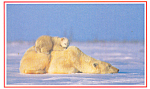 Click here to enlarge image and see more about item p18130: Polar Bear with Her Cubs Postcard p18130