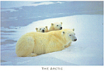 Polar Bear with Her Cubs Postcard
