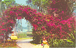 Click here to enlarge image and see more about item p18499: Cypress Gardens  FL Bougainvillea Postcard p18499