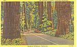 Avenue of Giants, California Redwoods Postcard