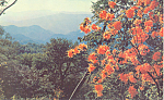Click here to enlarge image and see more about item p18681: Flame Azealeas at Mile Overlook, NC Postcard