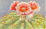 Click here to enlarge image and see more about item p18700: Devils Head Cactus Postcard 1982