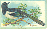 Click here to enlarge image and see more about item p18901: The Magpie Raphael Tuck Postcard p18901