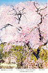 Prunus Itosakura, Saidiji City, Japan Postcard