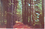 Click here to enlarge image and see more about item p19134: Lovers Lane Sitka National Historical Park AK Postcard p19134
