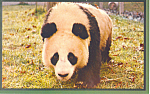 Panda,National Zoological Park,Washington DC Postcard