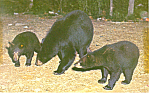 Click here to enlarge image and see more about item p19309: Mother Bears and Cubs Postcard p19309
