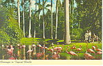 Flamingos in Tropical Florida Postcard p19311