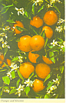 Oranges and Blossoms in Tropical Florida Postcard p19312
