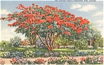 Florida Royal Poinciana Tree Postcard