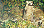 Click here to enlarge image and see more about item p19373: A Family of Raccoons Postcard