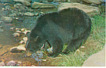 Click here to enlarge image and see more about item p19374: A Black Bear Postcard p19374