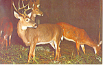 A Deer Herd Postcard