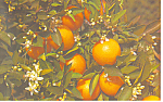 Orange Tree Blooming and Bearing Fruit,Florida